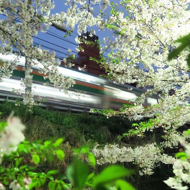 電車と同じで散るのも桜は早い。でも「ありがとう」#桜#電車