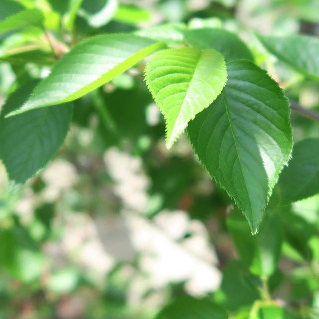 桜の葉新緑に向かってとても葉も綺麗です。#桜#葉 「生きるのが楽になる!ホリスティック氣幸」http://holistic-kikou.com