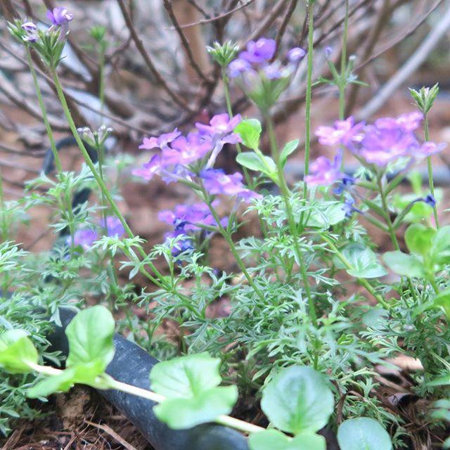 足下にも大切な命がある。#花#草花